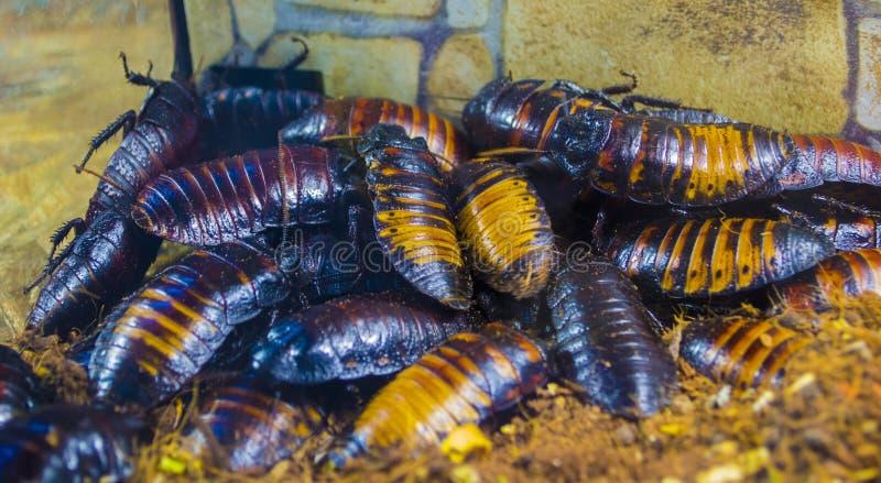 Cucarachas que silban de Madagascar fotografía de archivo libre de regalías