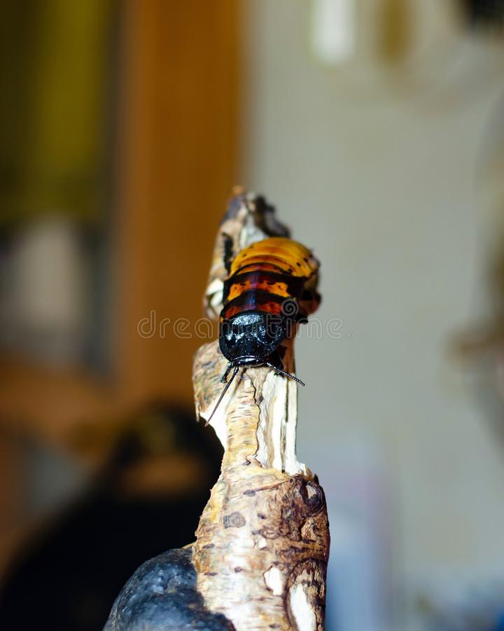 Cucarachas que silban de Madagascar Portentosa de Gromphadorhina fotos de archivo
