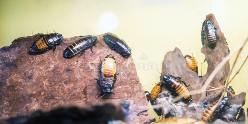 Cucarachas que silban de Madagascar fotos de archivo libres de regalías
