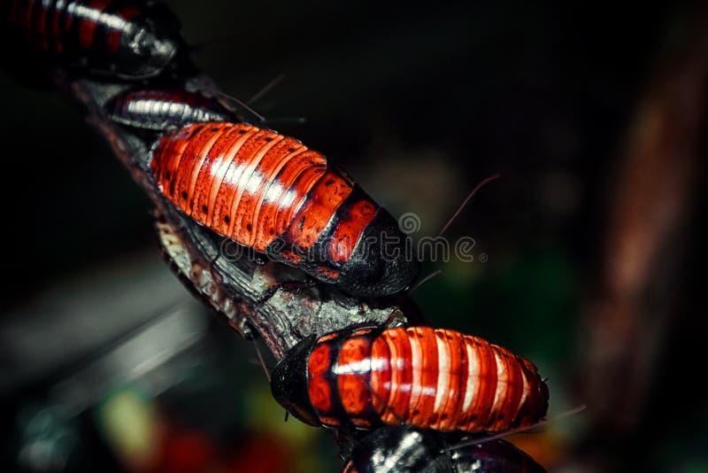 Cucarachas rojo marrón de Madagascar imagen de archivo libre de regalías