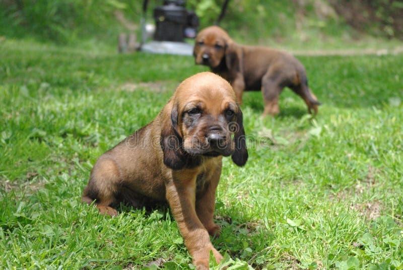Cuccioli! fotografia stock