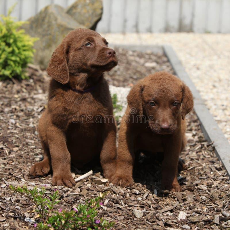 Cuccioli adorabili del Chesapeake bay retriever immagini stock