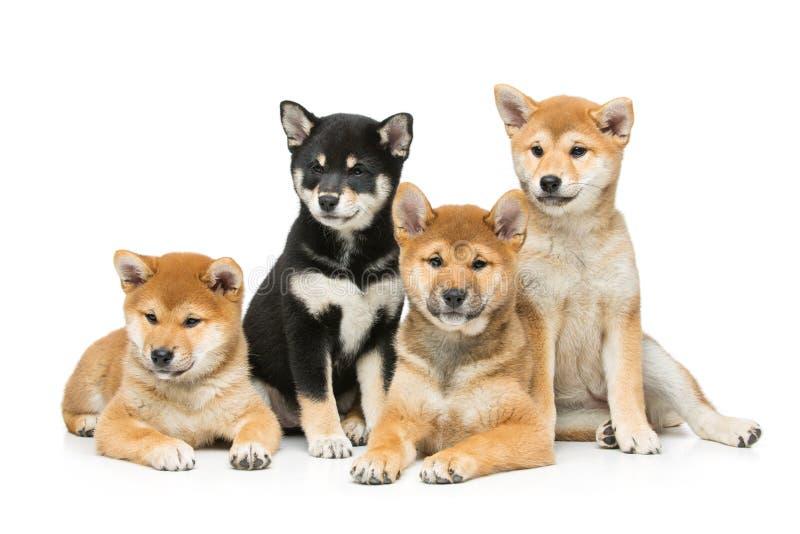 Cuccioli bei di inu di shiba isolati su bianco fotografie stock