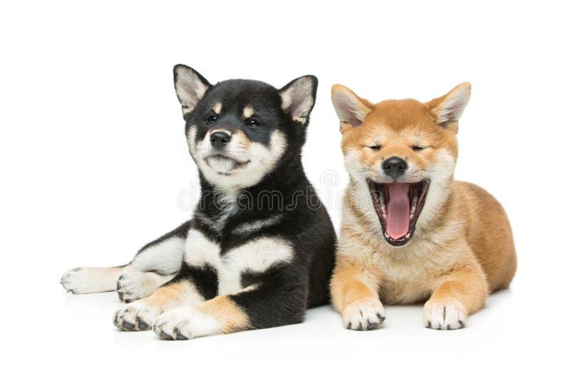Cuccioli bei di inu di shiba isolati su bianco fotografia stock libera da diritti