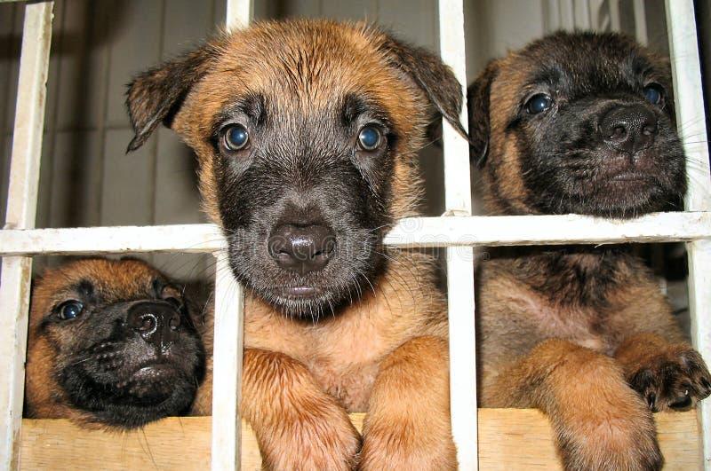Cuccioli belgi di malinois fotografie stock