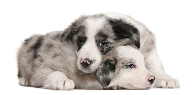 Cuccioli blu del Collie di bordo di Merle, vecchio 6 settimane fotografia stock