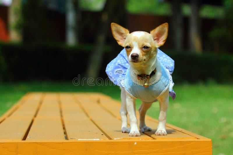 Cuccioli, chihuahua, chihuahua del cucciolo sveglia immagine stock libera da diritti