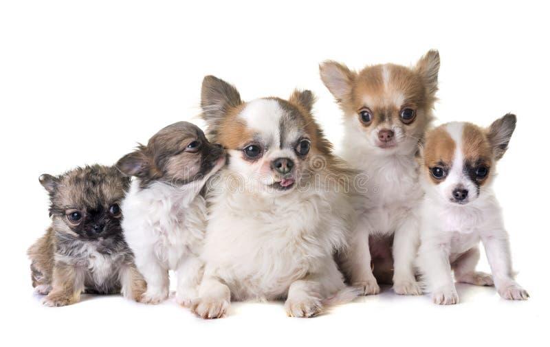 Cuccioli chihuahua ed adulti fotografia stock libera da diritti