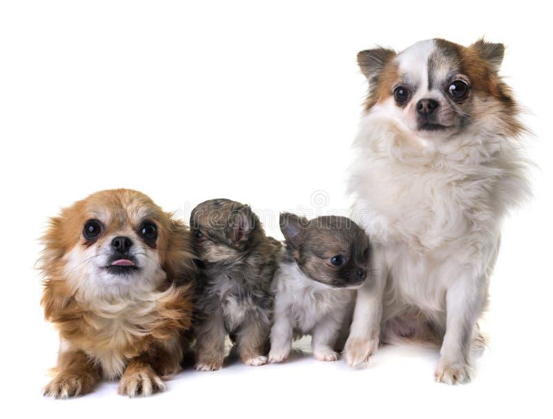 Cuccioli chihuahua ed adulti immagine stock