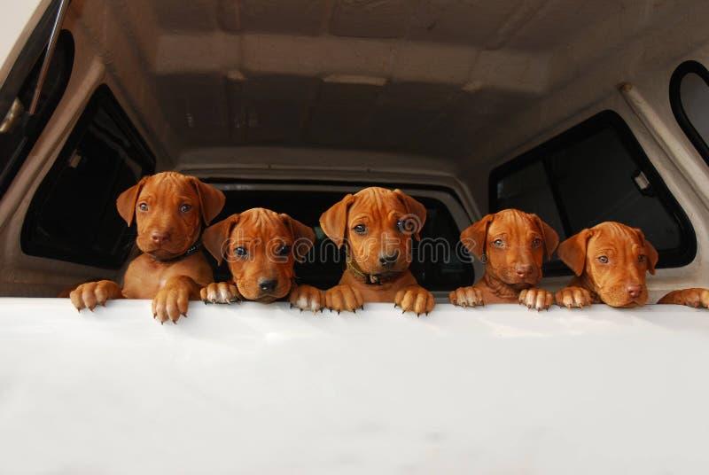 Cuccioli curiosi fotografie stock libere da diritti