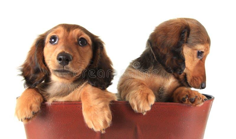Cuccioli del bassotto tedesco immagini stock