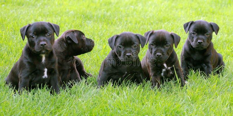 Cuccioli del bull terrier di Staffordshire fotografia stock libera da diritti
