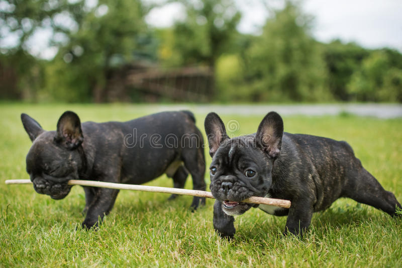 Cuccioli del bulldog che giocano con un bastone sul verde fotografia stock libera da diritti