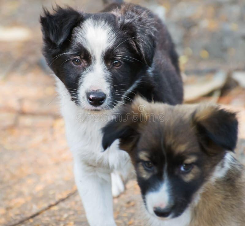 Cuccioli del cane che guardano in camera fotografia stock libera da diritti