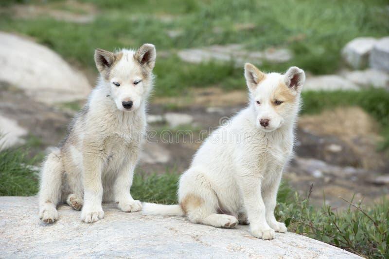 Cuccioli del cane di slitta fotografia stock libera da diritti