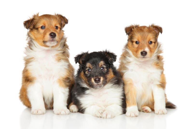 Cuccioli del cane pastore di Shetland fotografia stock libera da diritti