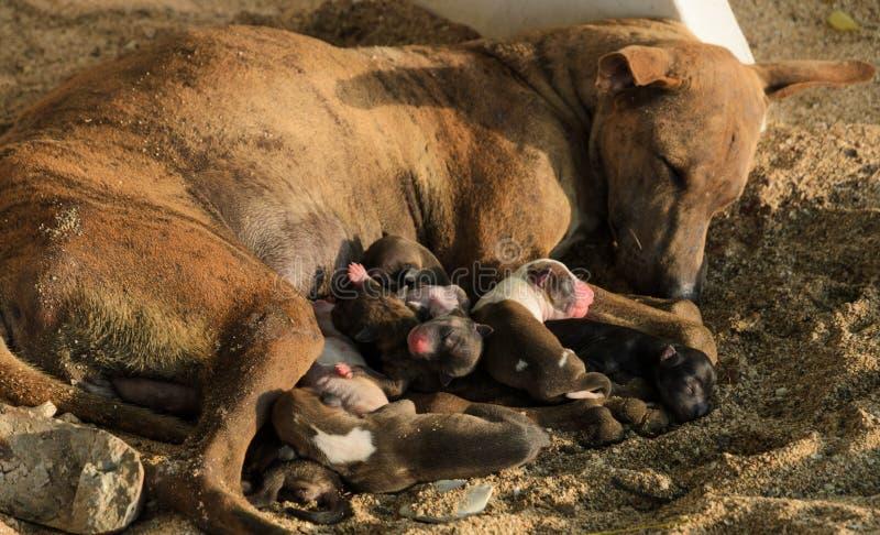 Cuccioli del cane randagio che allattano fotografie stock