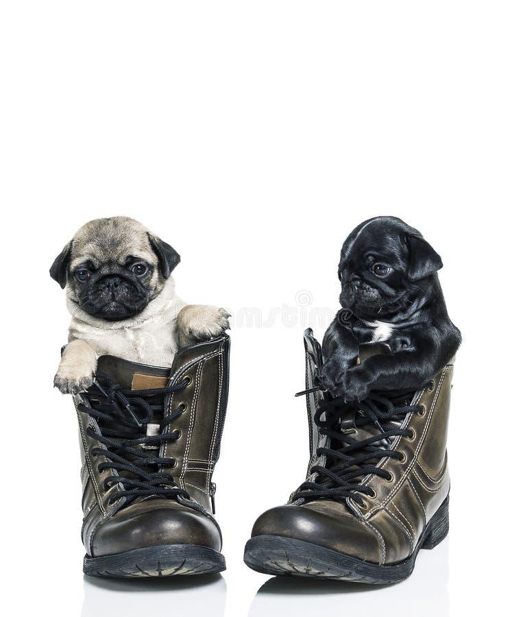 Cuccioli del carlino in stivali fotografie stock libere da diritti