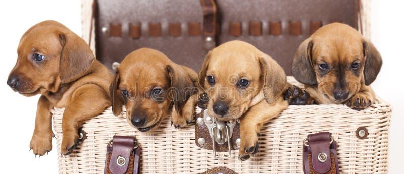 cuccioli del dachshund fotografie stock libere da diritti