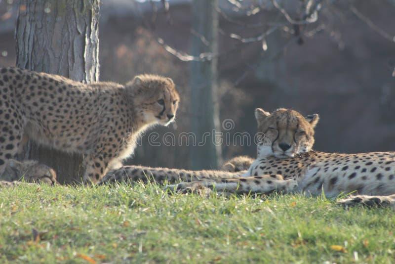 Cuccioli del ghepardo che pongono insieme alla loro famiglia il ghepardo è conosciuto per la sua velocità fotografie stock libere da diritti