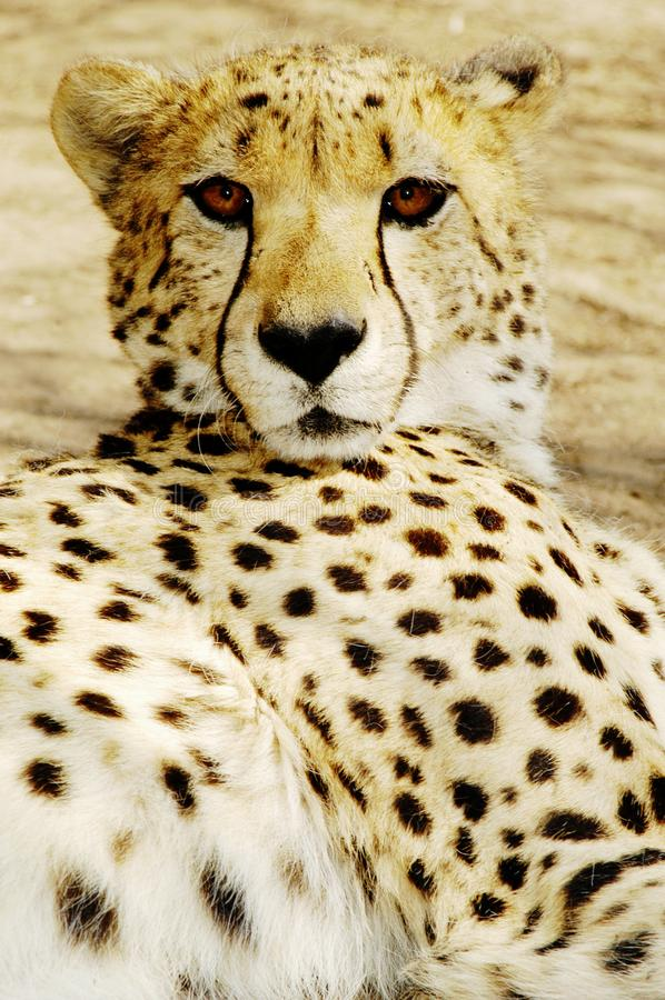 Cuccioli del ghepardo (jubatus di Acinonux), Sudafrica fotografie stock