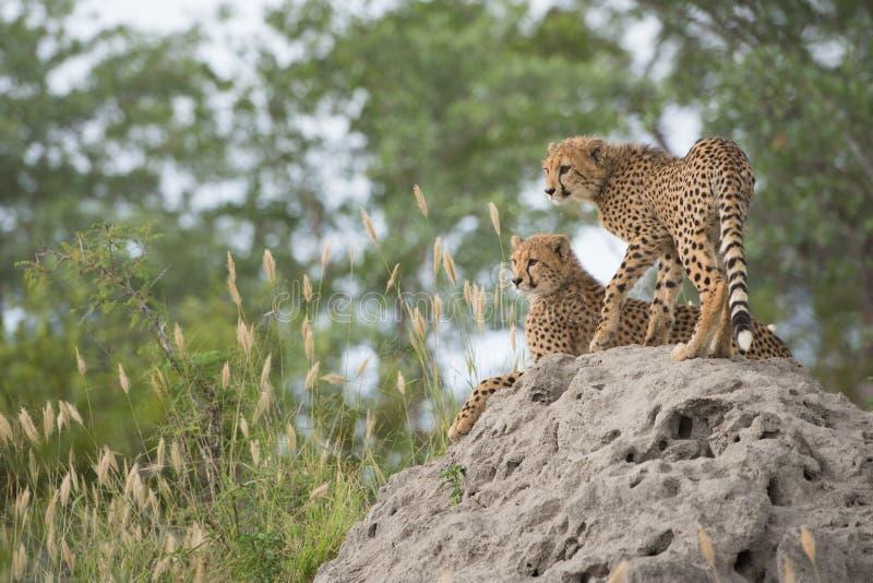 Cuccioli del ghepardo su un monticello della termite immagini stock libere da diritti
