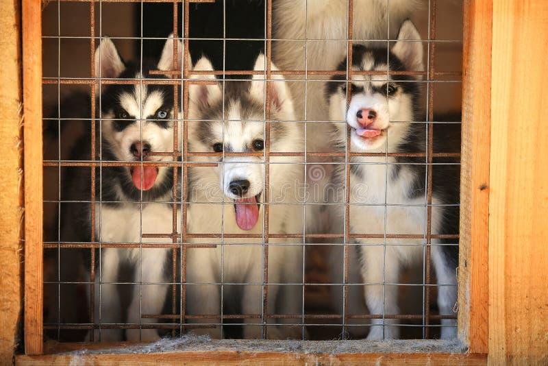 Cuccioli del husky siberiano in una gabbia aviary fotografia stock