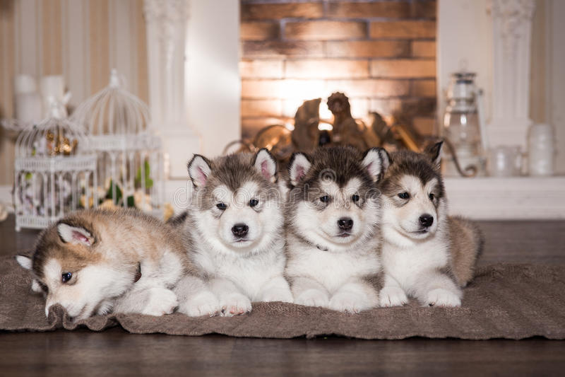 Cuccioli del Malamute che si trovano sul plaid di lana fotografie stock
