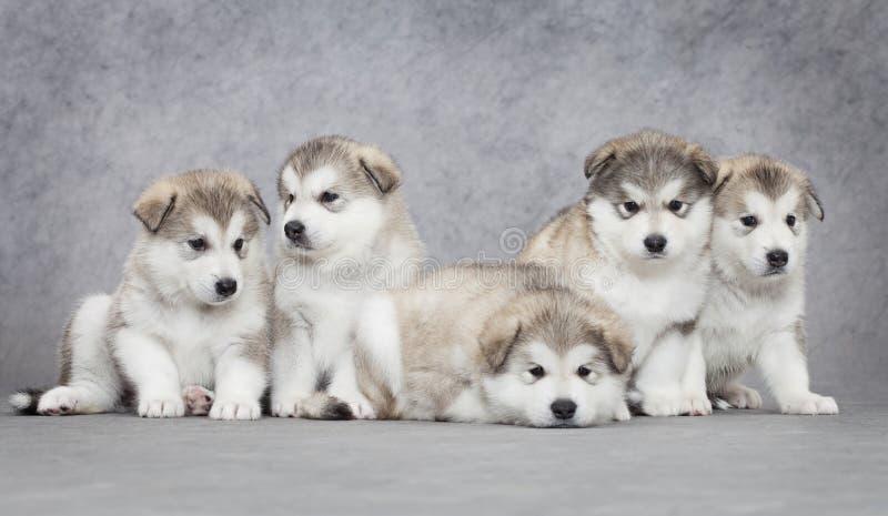 Cuccioli del malamute d'Alasca immagine stock