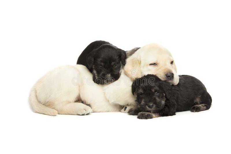 Cuccioli del nero dello schnauzer miniatura e di labrador retriever immagine stock libera da diritti