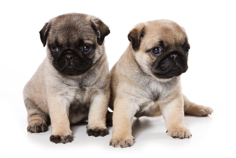 Cuccioli del Pug fotografia stock libera da diritti