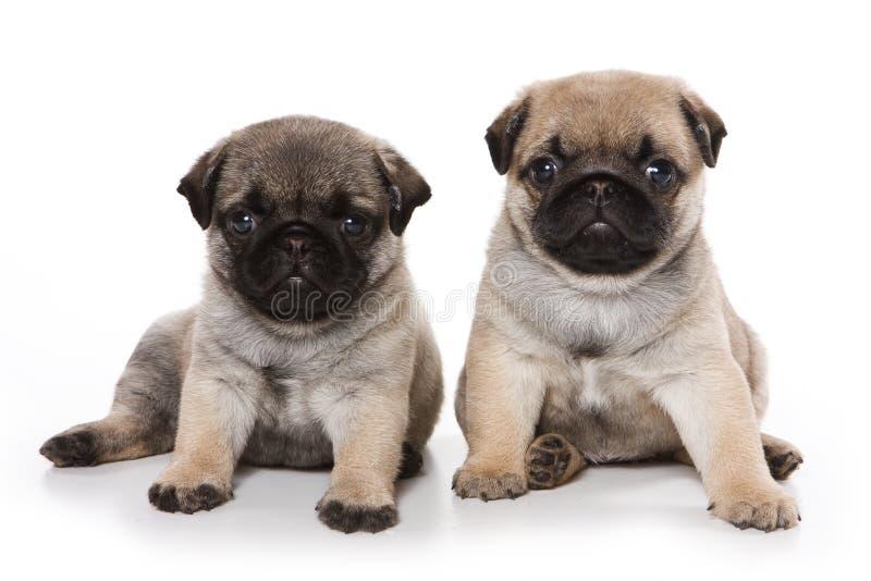 Cuccioli del Pug immagine stock