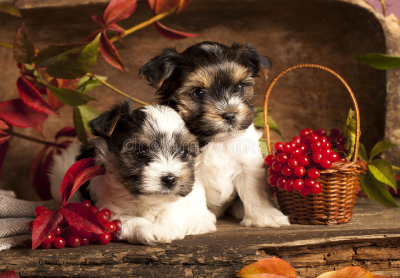 Cuccioli del terrier di Biewer fotografie stock