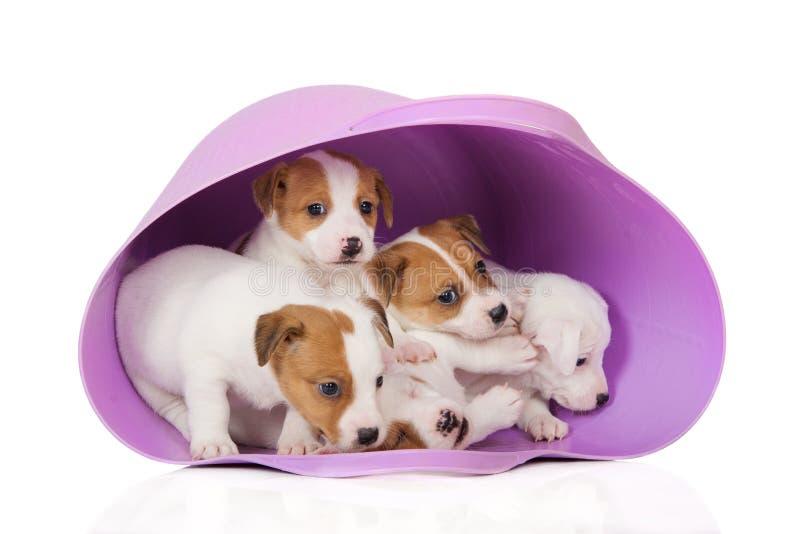 Cuccioli del terrier di Jack russell in un canestro fotografia stock libera da diritti