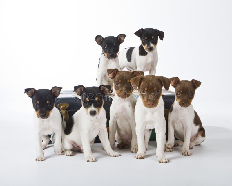 Cuccioli del Terrier di ratto fotografia stock libera da diritti