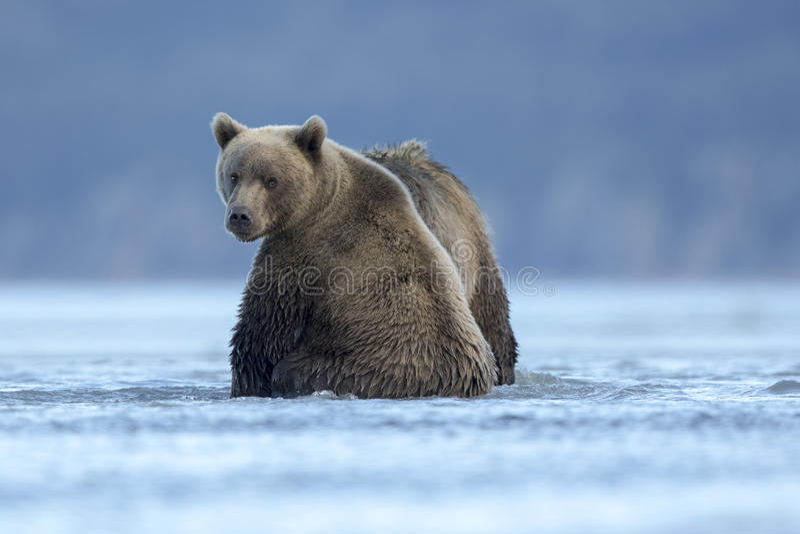 Cuccioli dell'orso grigio che aspettano alimento immagini stock
