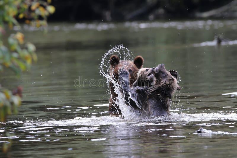Cuccioli dell'orso grigio che giocano nell'acqua fotografie stock