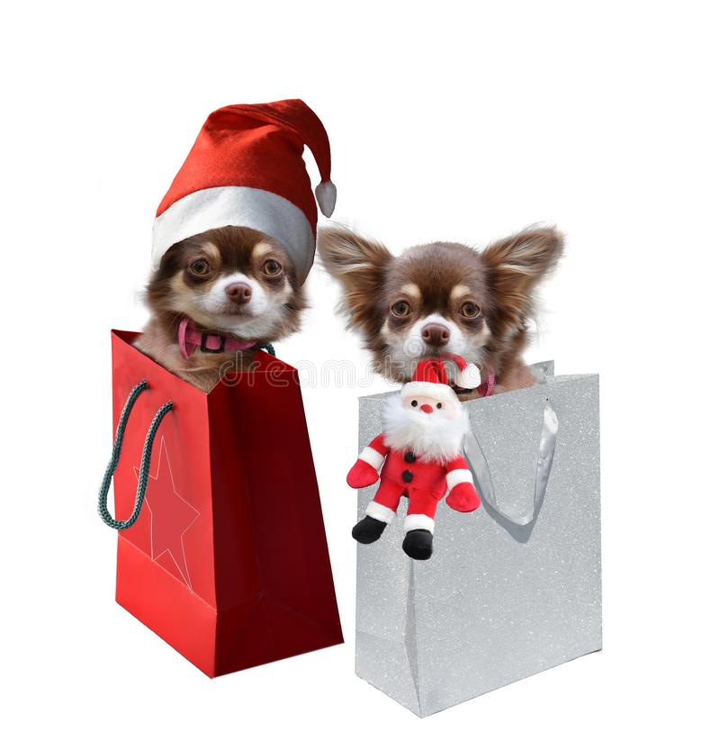 Cuccioli della chihuahua nella borsa del regalo fotografia stock