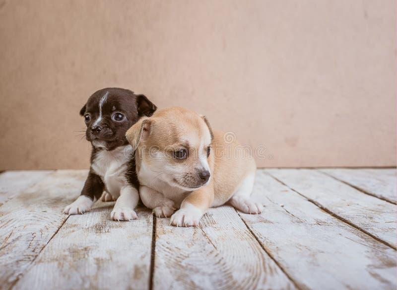 Cuccioli della chihuahua su un fondo di legno fotografia stock libera da diritti
