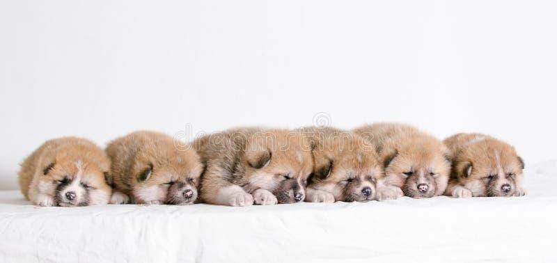 Cuccioli di Akita Inu immagine stock libera da diritti