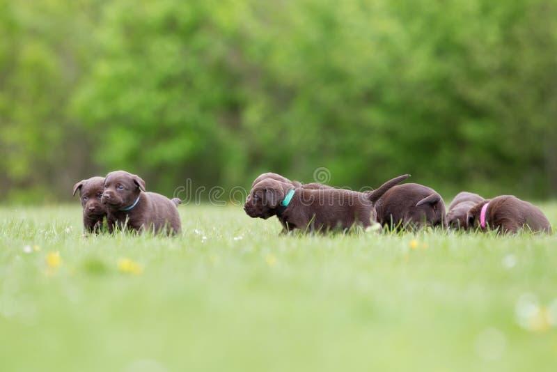 Cuccioli di Brown labrador retriever immagine stock