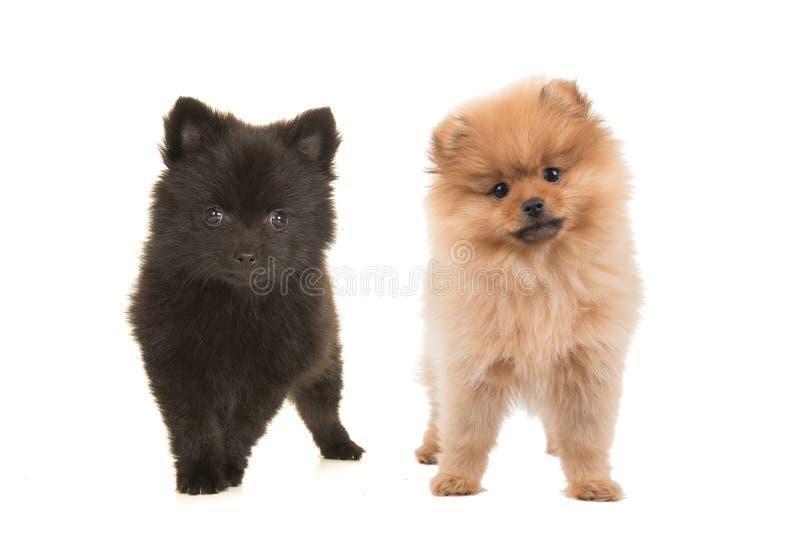 Cuccioli di cane il nero e marrone di Pomeranian fotografia stock