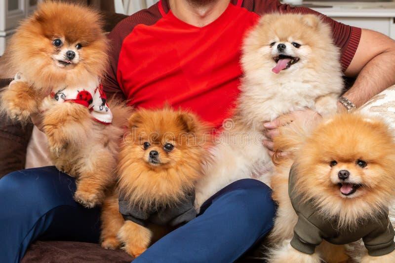 Cuccioli di cane di Pomeranian fotografia stock libera da diritti