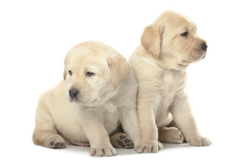 Cuccioli di labrador retriever fotografia stock libera da diritti
