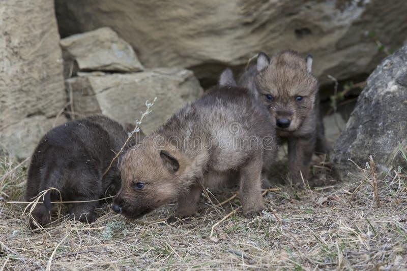 Cuccioli di lupo che camminano dalla tana immagine stock libera da diritti