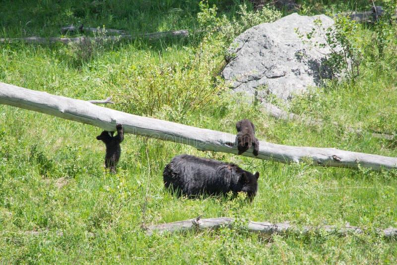 Cuccioli di orso allegri fotografia stock libera da diritti