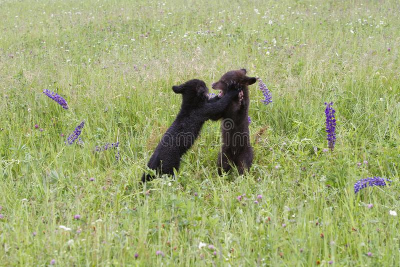 Cuccioli di orso nero che giocano in un prato immagine stock