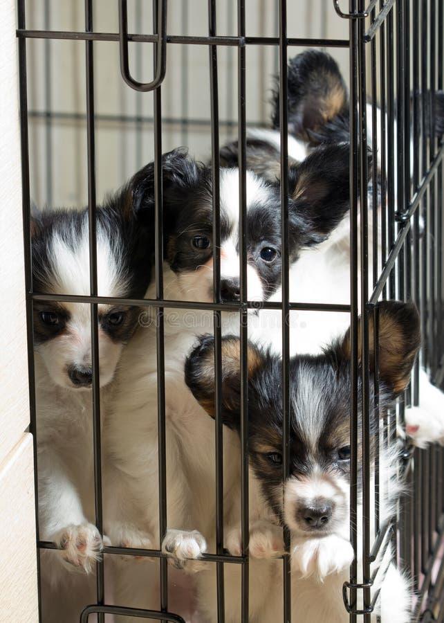 Cuccioli di Papillon fotografia stock libera da diritti