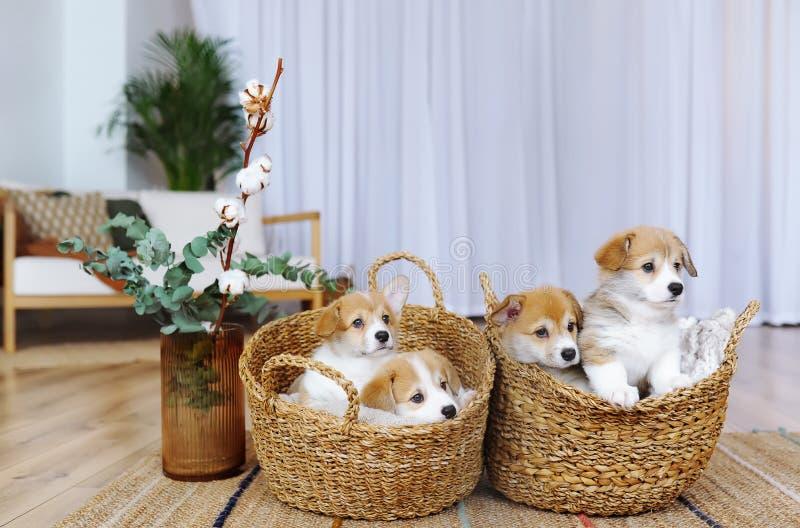 Cuccioli di Pembroke Welsh Corgi in canestri all'interno fotografia stock