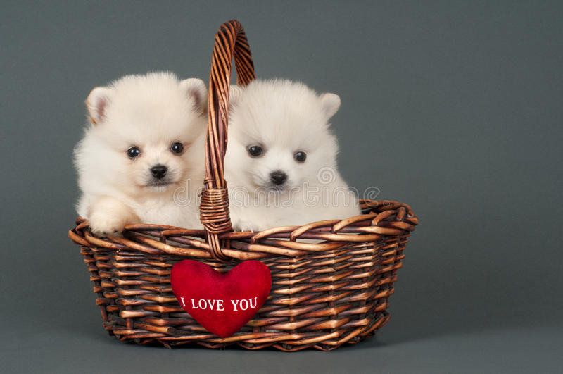 Cuccioli di Pomeranian fotografia stock